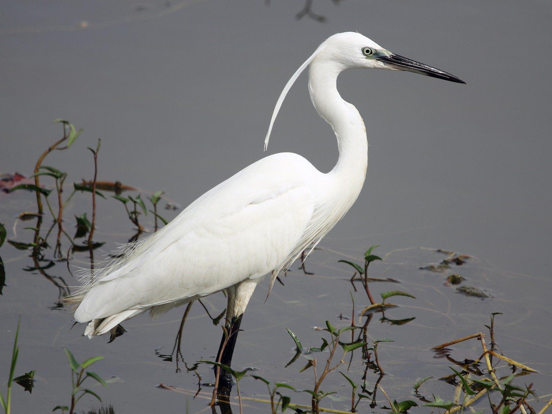 Little Egret - Bhaarat Vyas