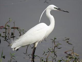 - Little Egret