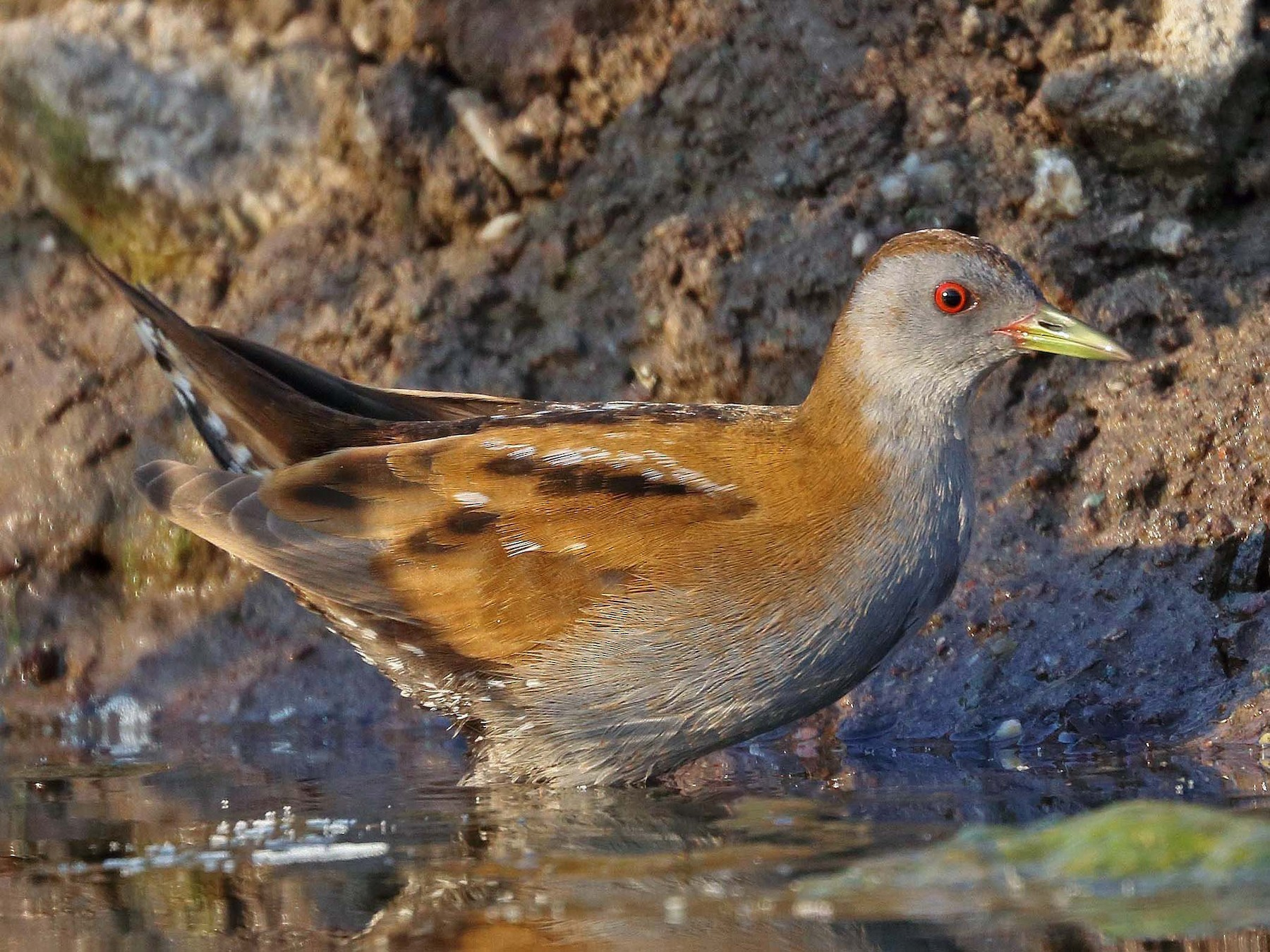 Little Crake - Mihir Barve