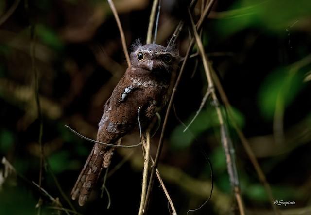 Sunda Frogmouth