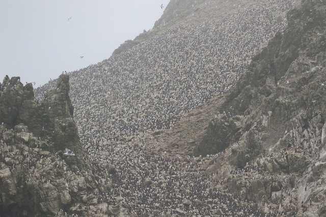 Large colony on Southeast Farallon Island; California, United States.