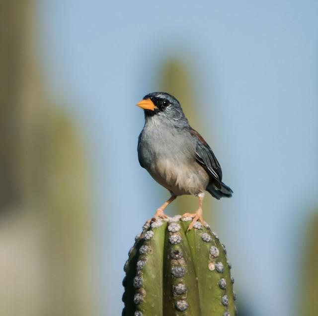 Little Inca-Finch