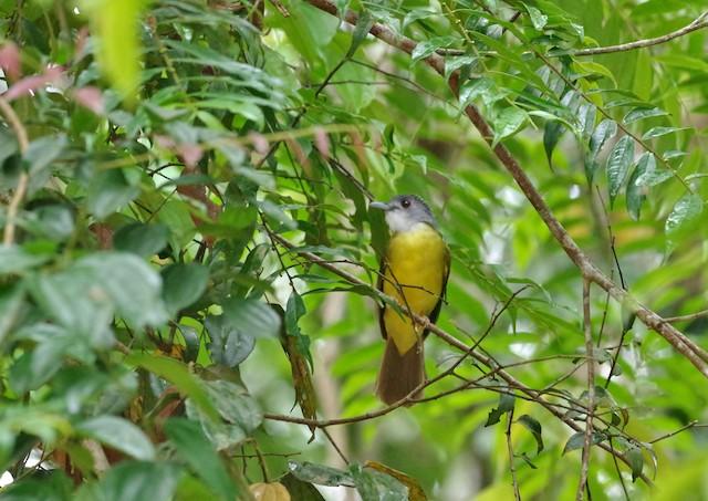 Yellow-bellied Bulbul