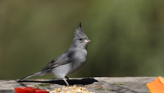 - Gray-crested Finch