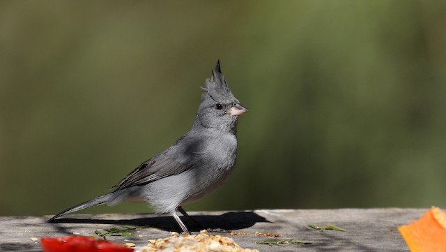Gray-crested Finch