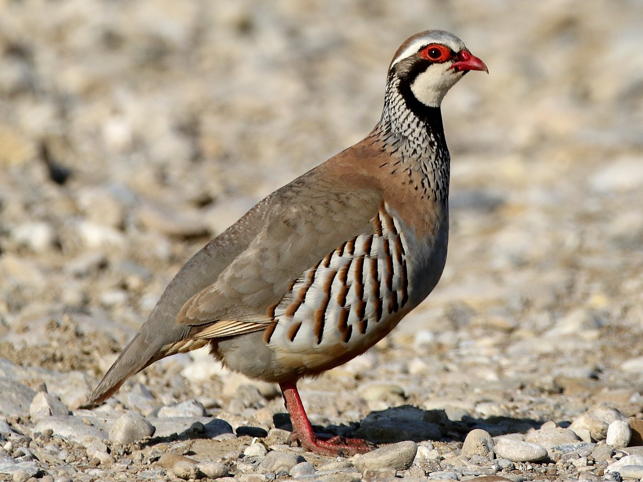 Red-legged Partridge - Jesús Mari Lekuona Sánchez