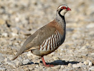 - Red-legged Partridge