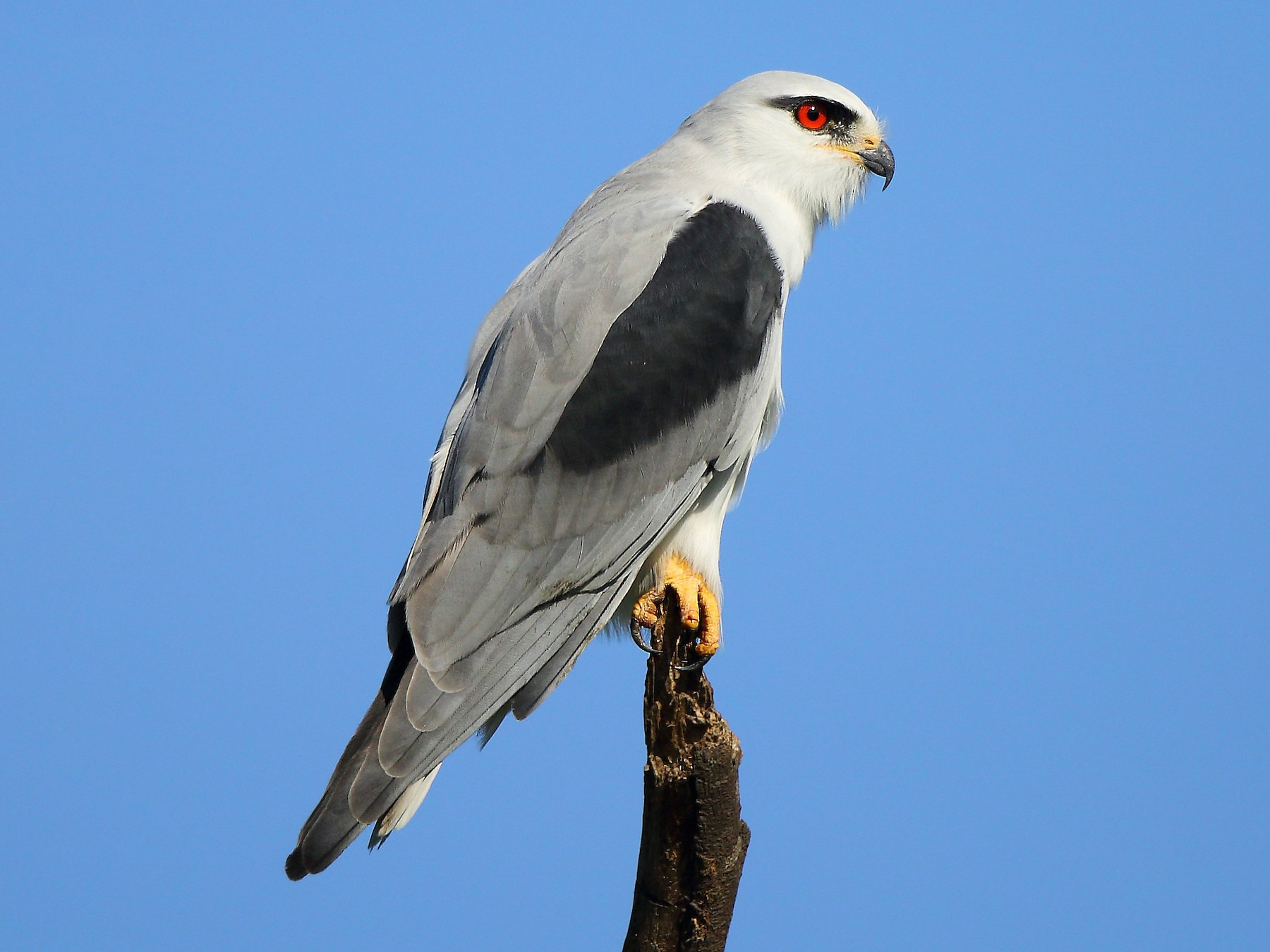 Black-winged Kite - Albin Jacob