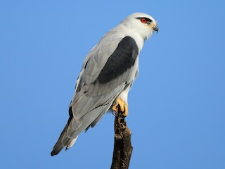 - Black-winged Kite