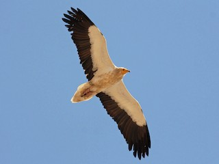 - Egyptian Vulture