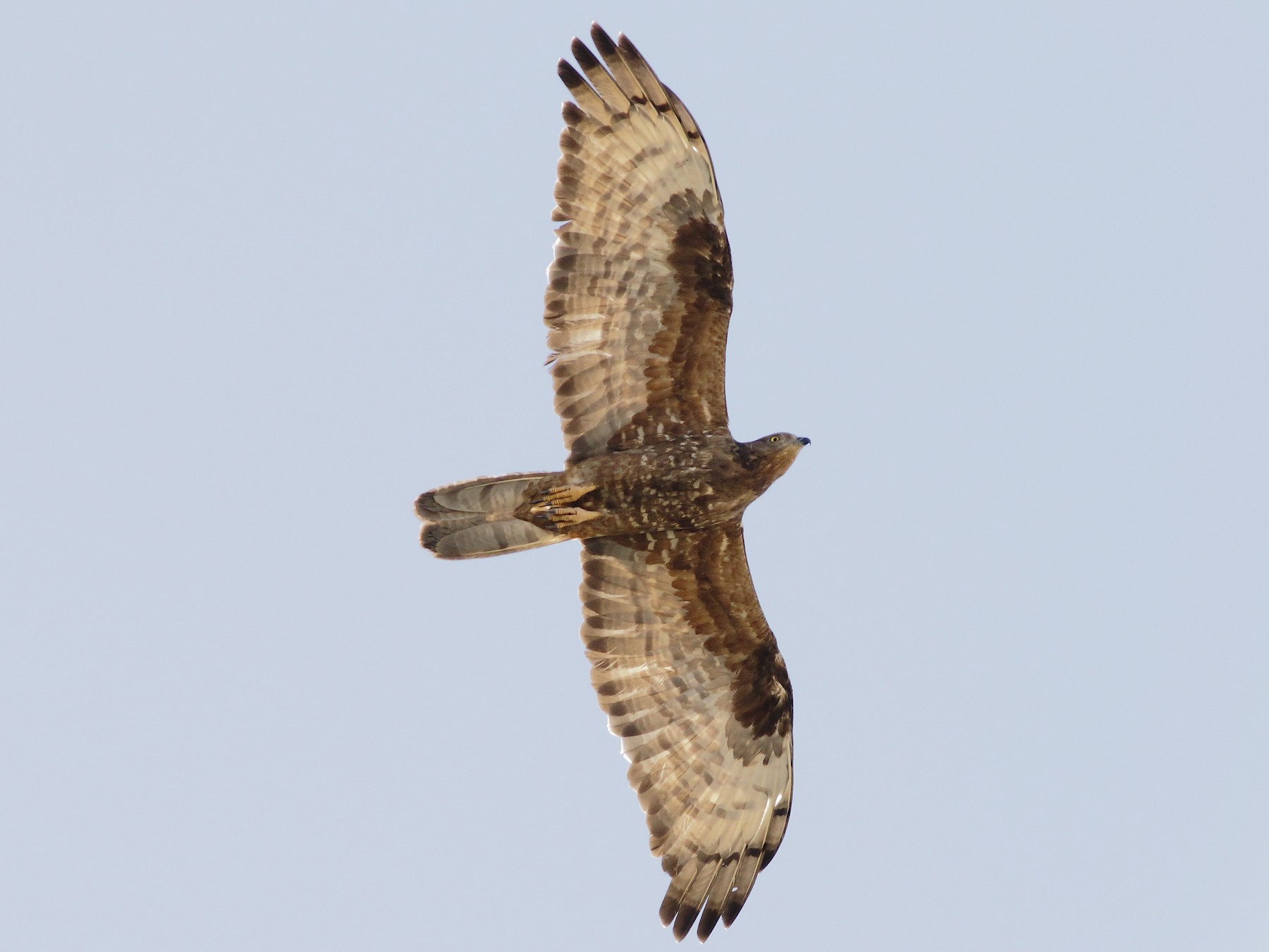 European Honey-buzzard - Sérgio Correia