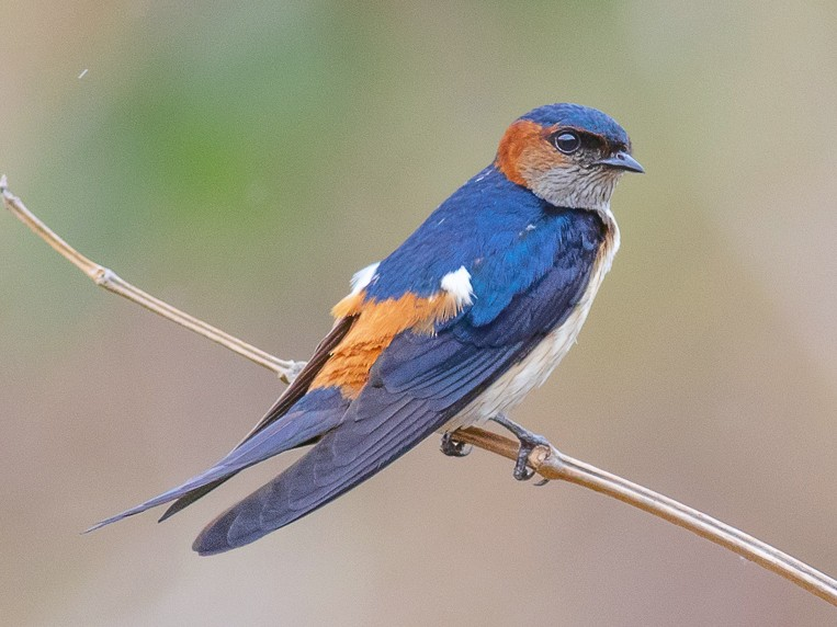 Red-rumped Swallow - Rudraksha Chodankar