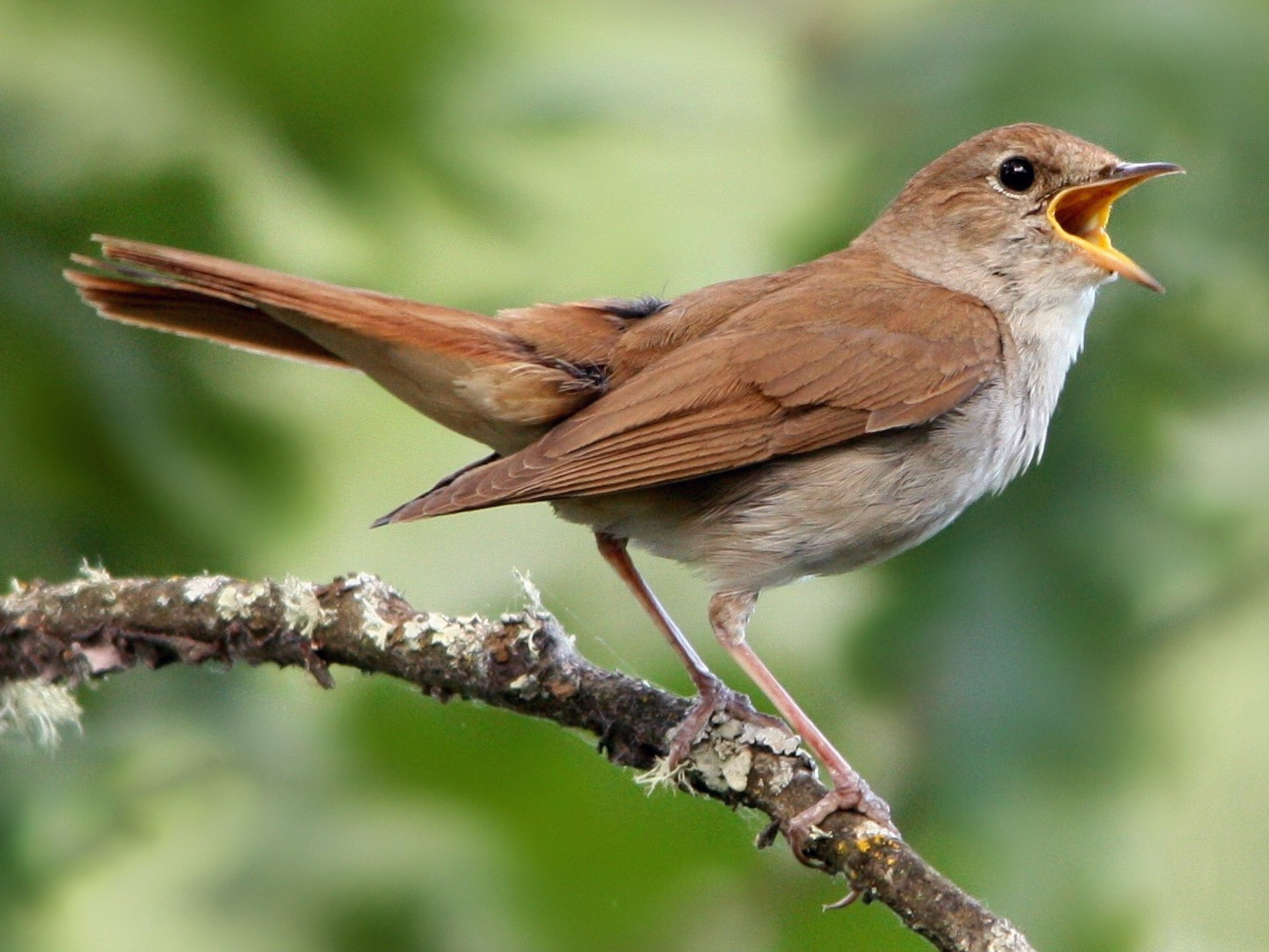 Common Nightingale - Tânia Araújo
