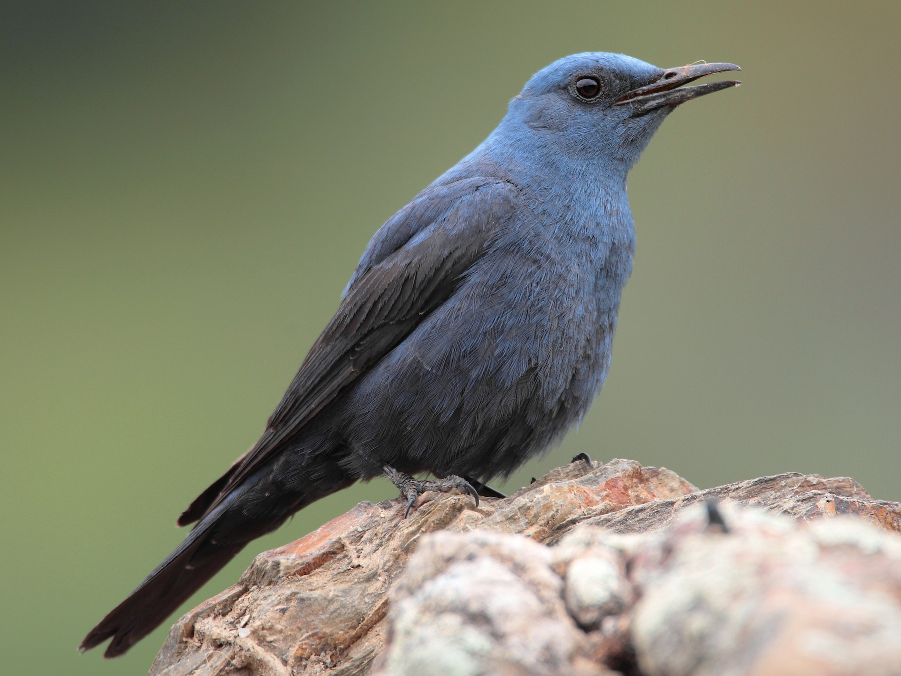 Blue Rock-Thrush - Pedro Marques