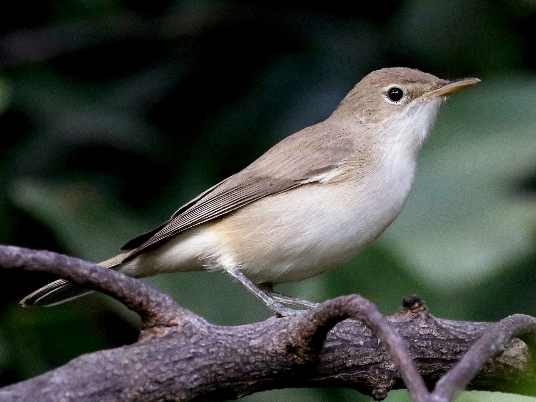 Western Olivaceous Warbler - Jay McGowan