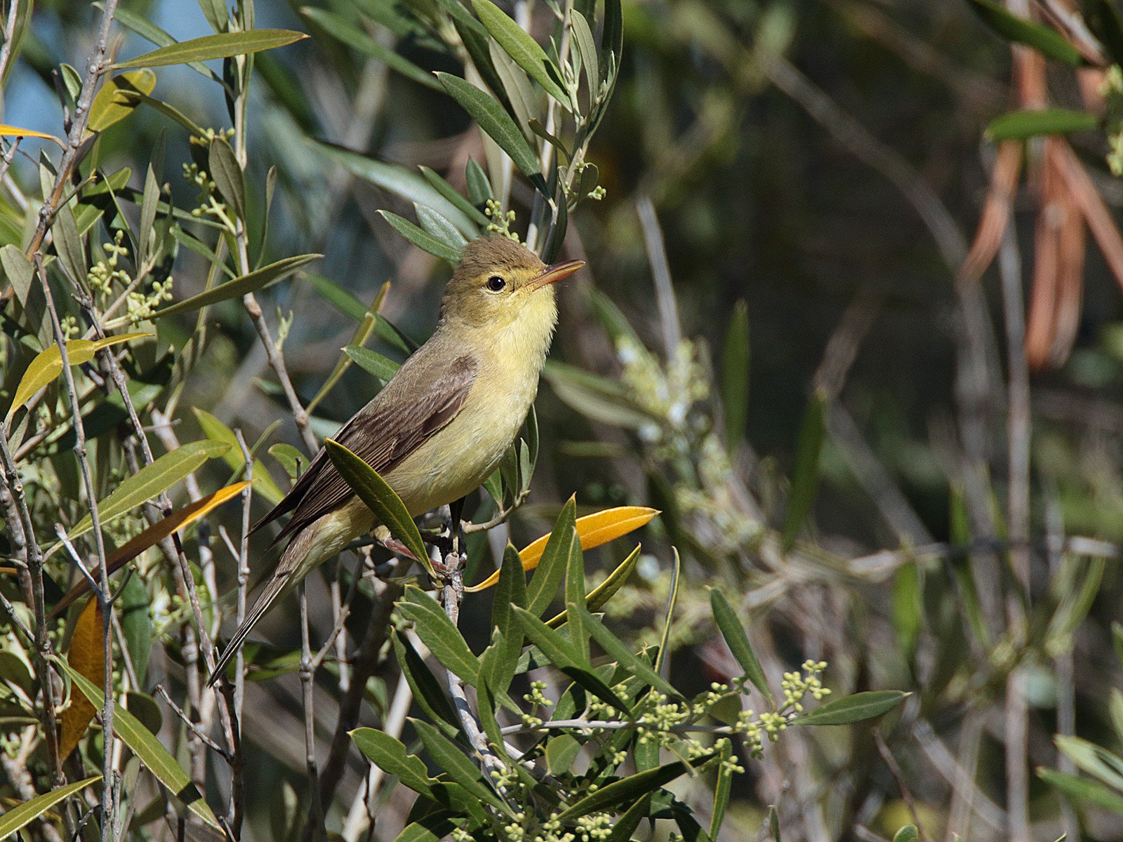 Melodious Warbler - Tom Tams