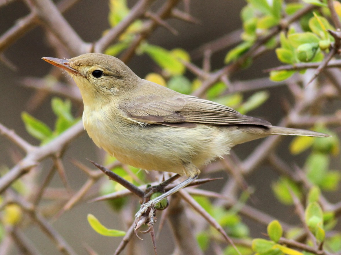 Melodious Warbler - Benoit Maire