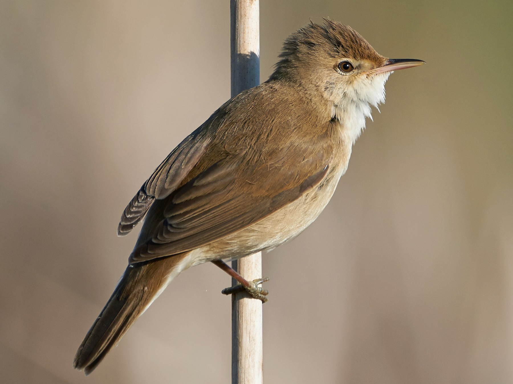 Eurasian Reed Warbler - Miguel Rouco