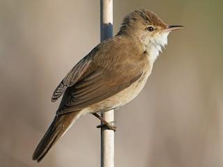 - Eurasian Reed Warbler