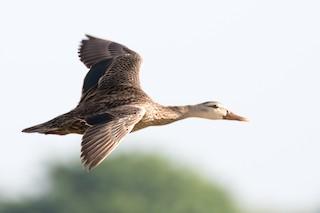Mottled Duck, ML168954251