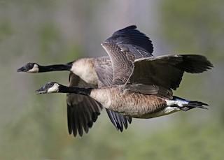 Canada Goose, ML168973441
