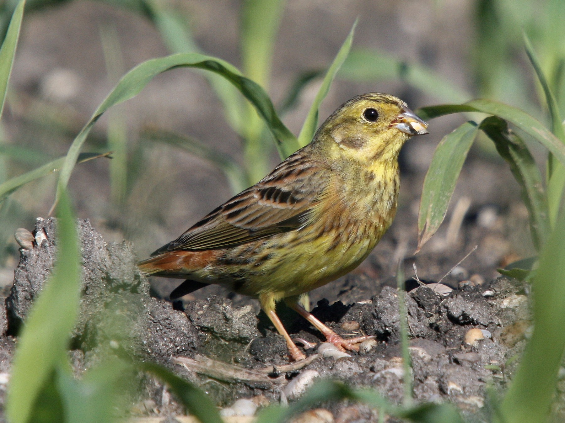Yellowhammer - Christoph Moning