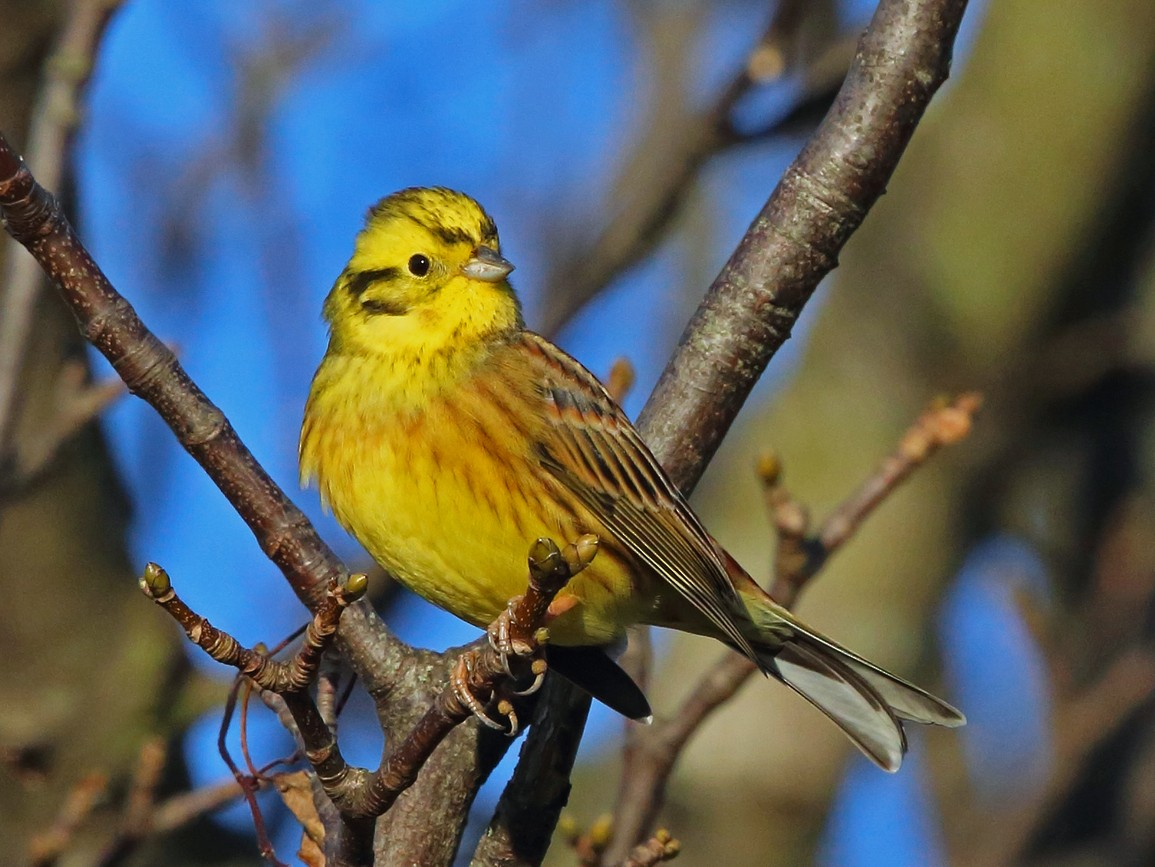 Yellowhammer - Nigel Voaden