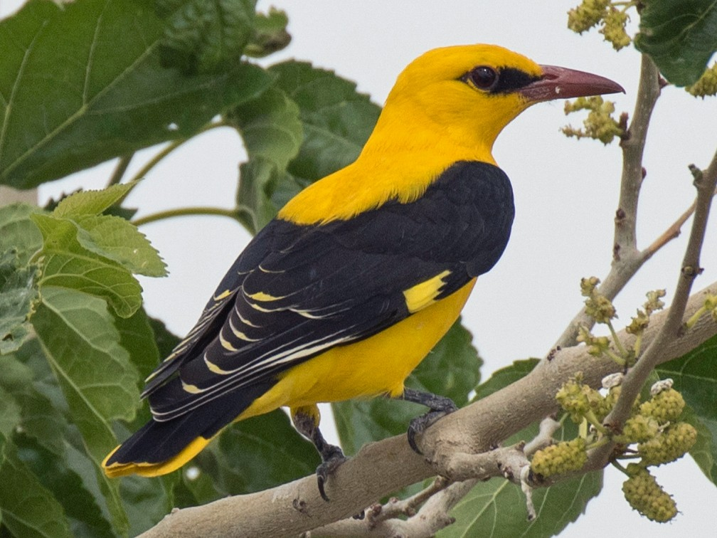 Eurasian Golden Oriole - James Kennerley 🦄