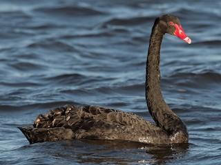 - Black Swan