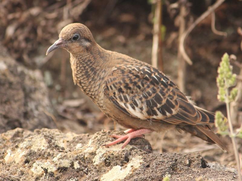 Galapagos Dove - Natalia Allenspach