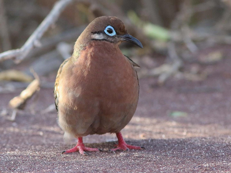 Galapagos Dove - Michael O'Brien