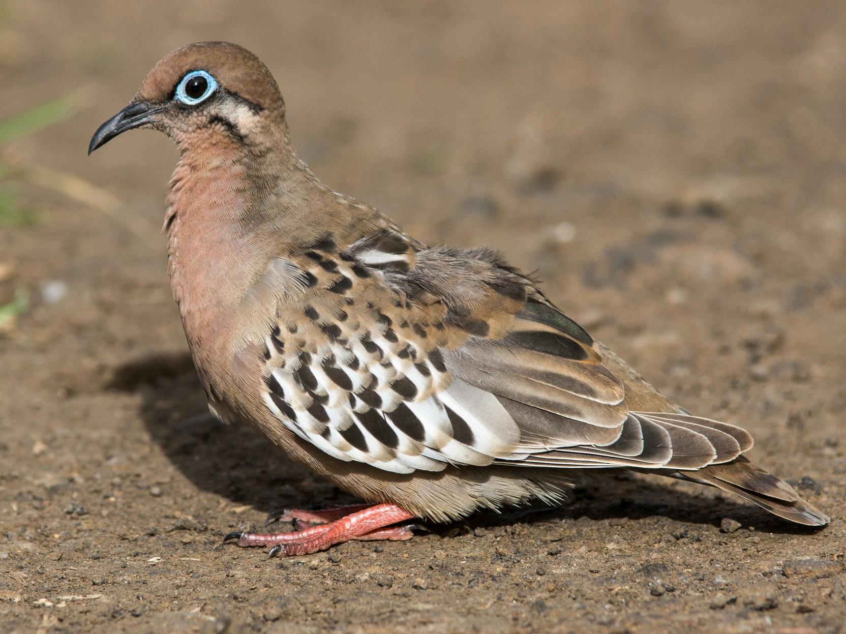 Galapagos Dove - Becca Engdahl