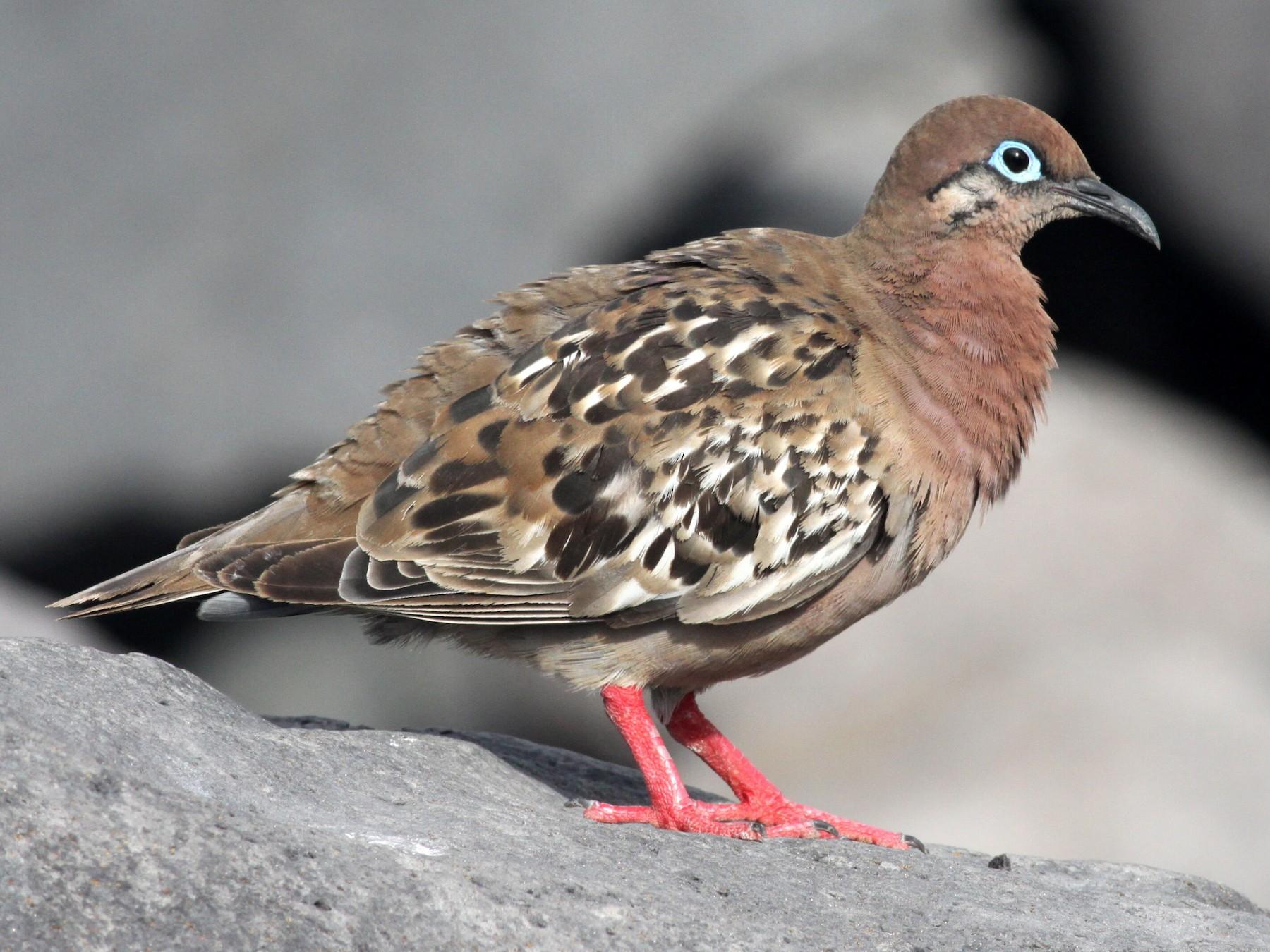 Galapagos Dove - Ken Oeser