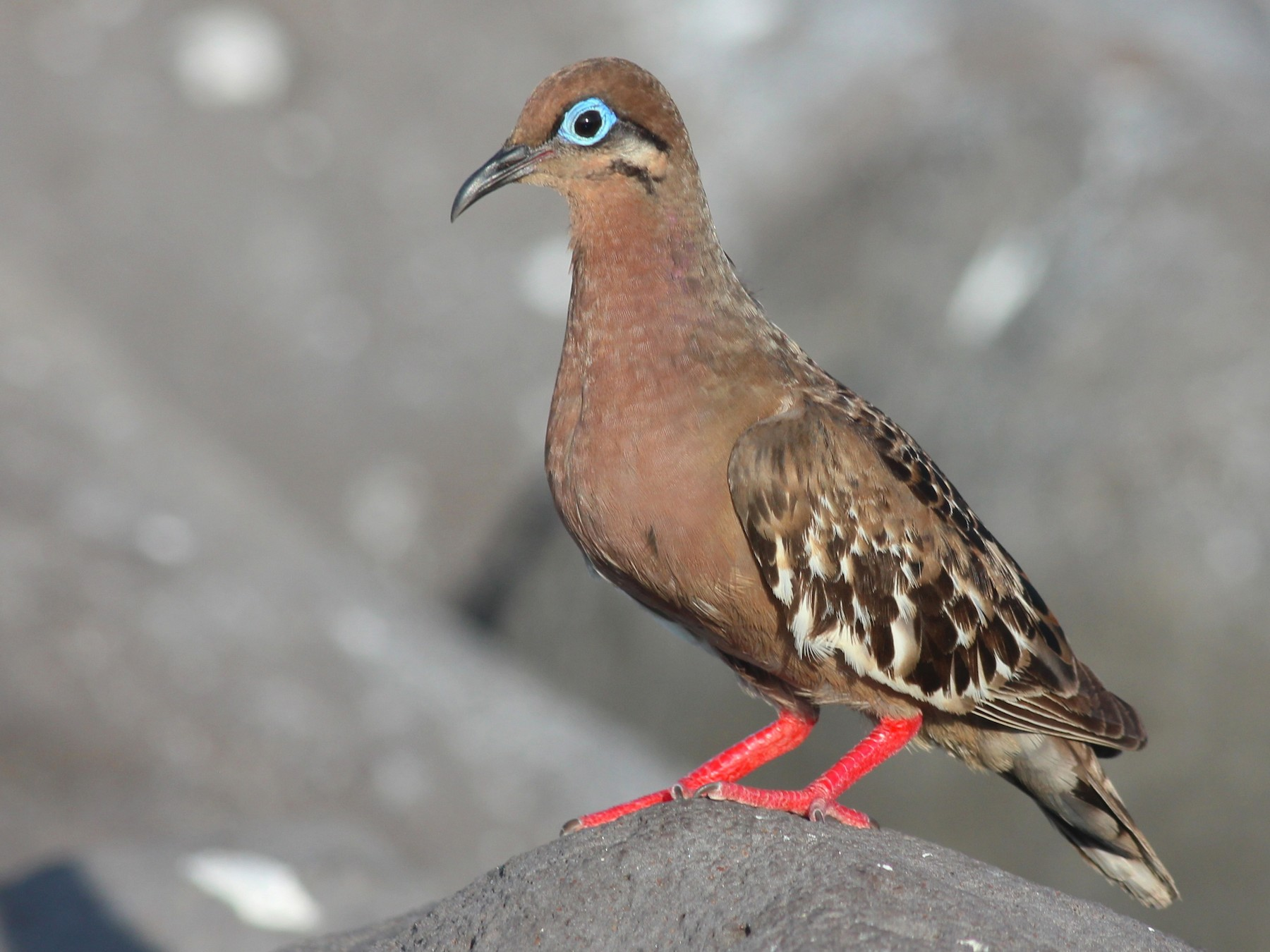 Galapagos Dove - Shawn Billerman
