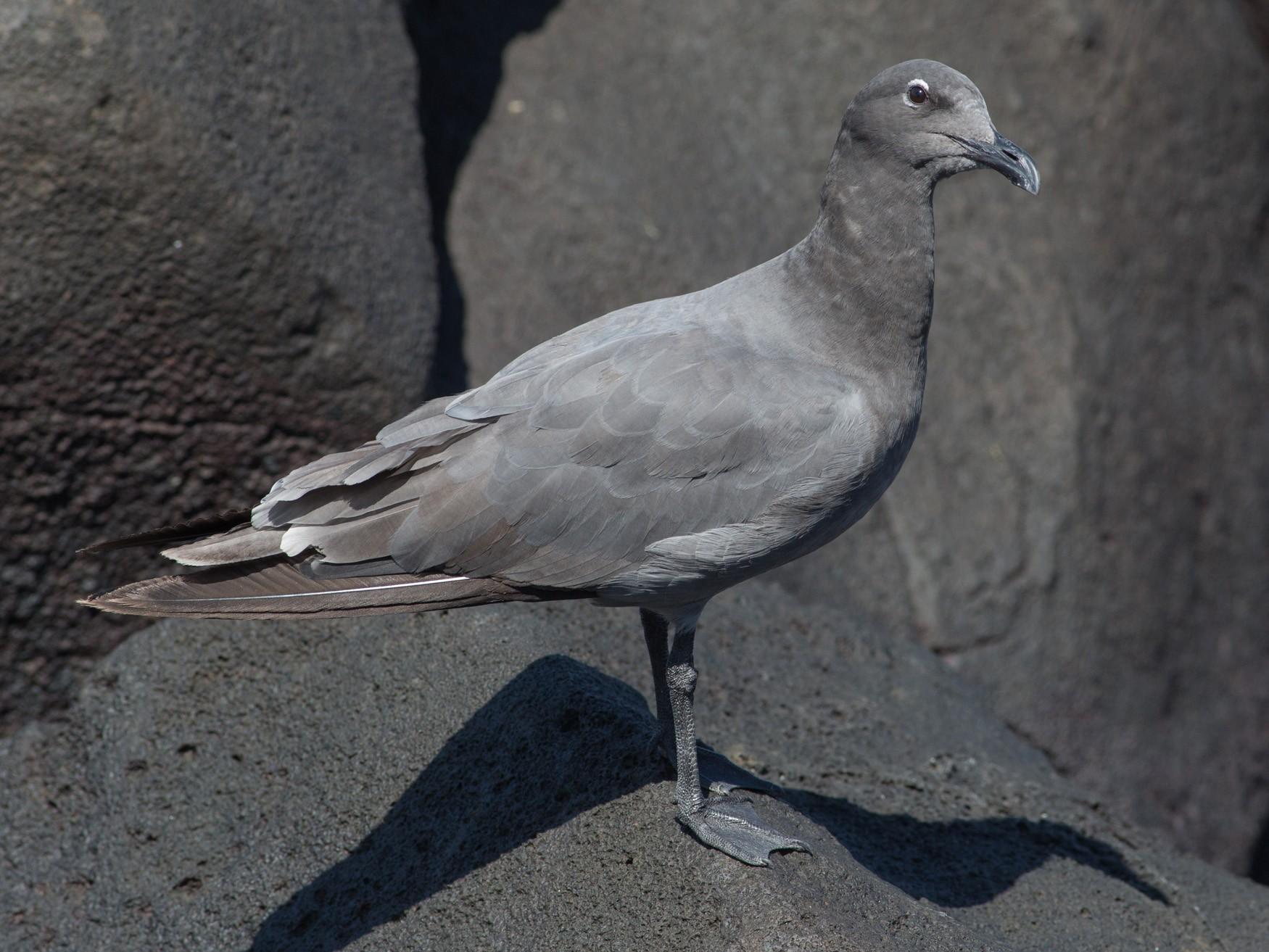 Lava Gull - Darren Clark