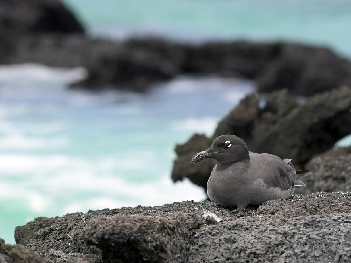 Lava Gull - Joshua Vandermeulen