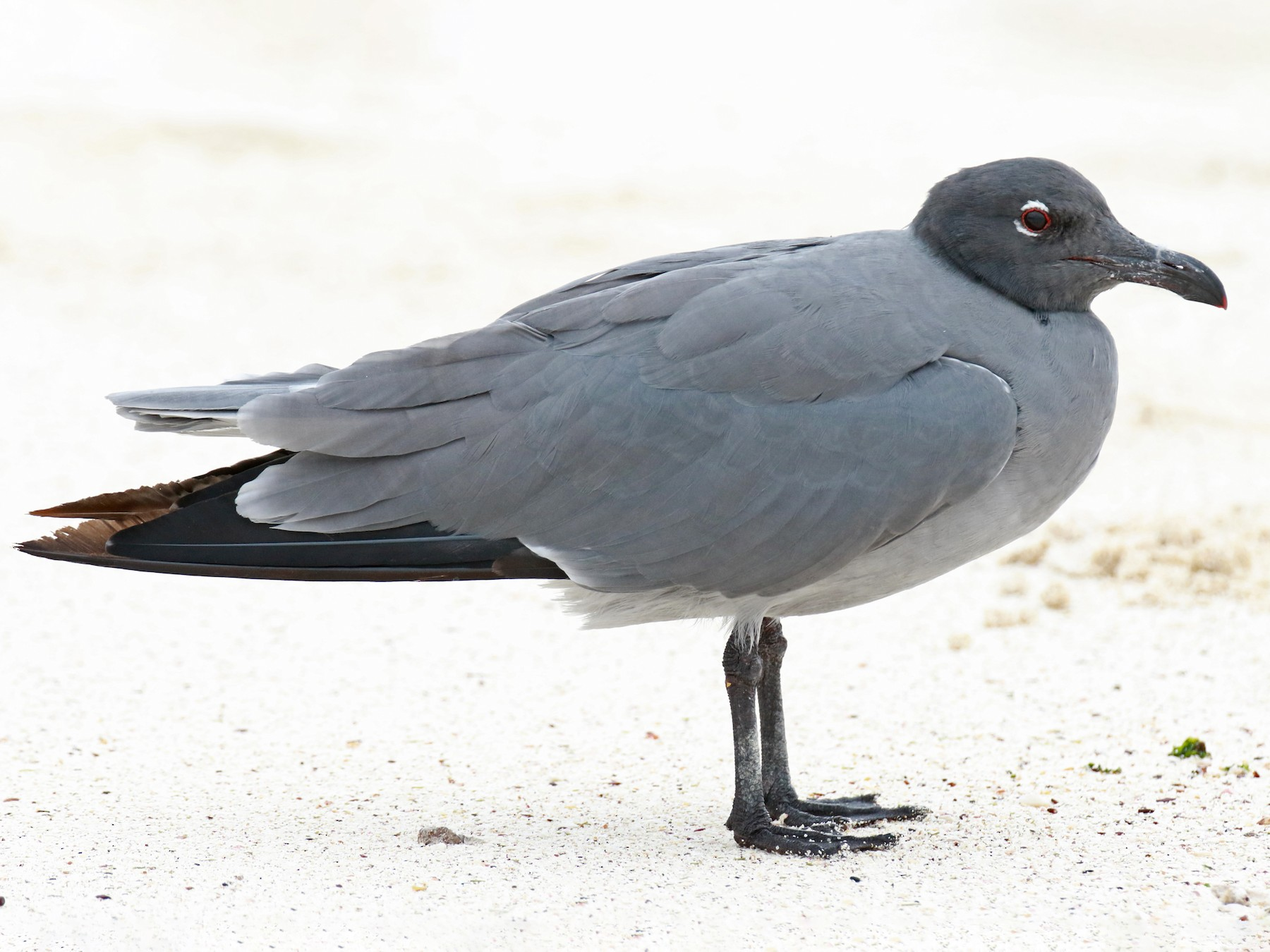 Lava Gull - Jordan Roderick