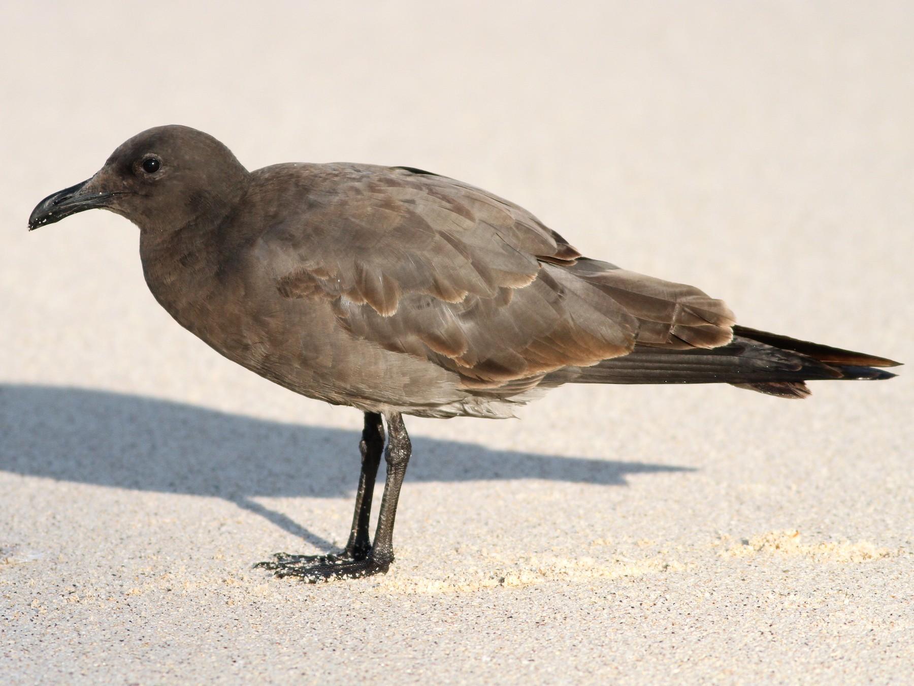 Lava Gull - David Weber
