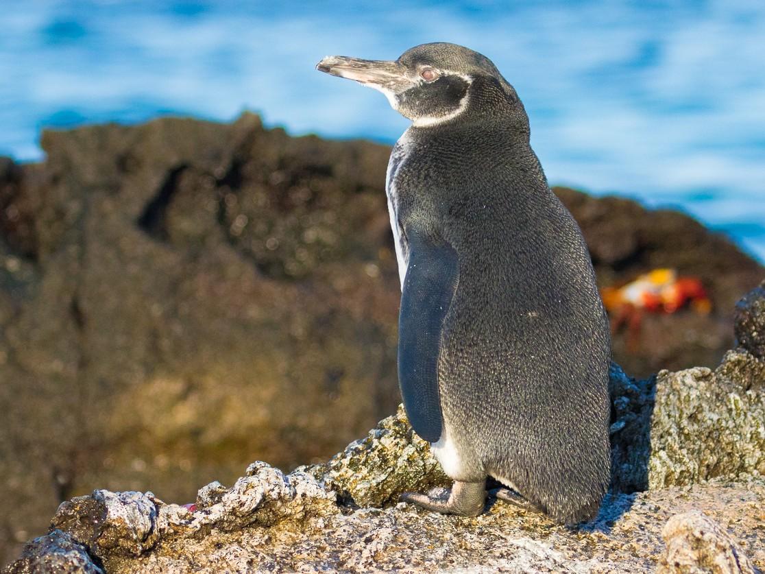 Galapagos Penguin - John Reynolds