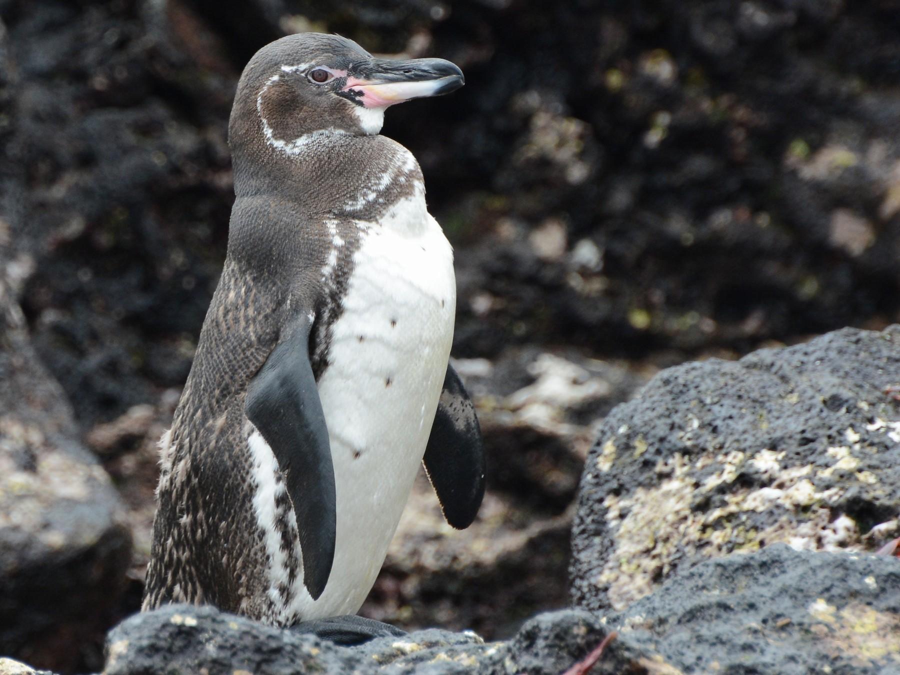 Galapagos Penguin - David J. Ringer