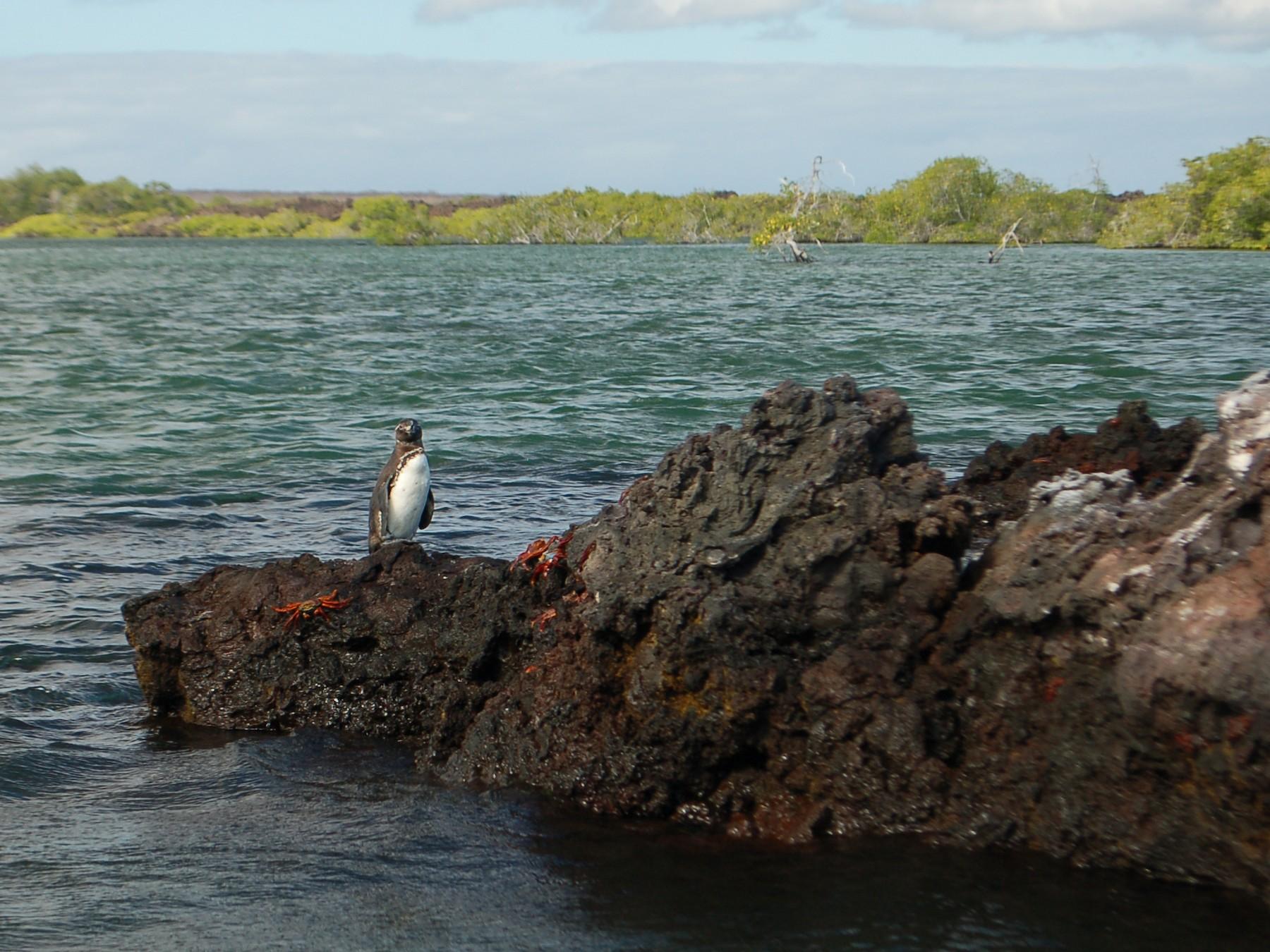 Galapagos Penguin - Lee Robinson