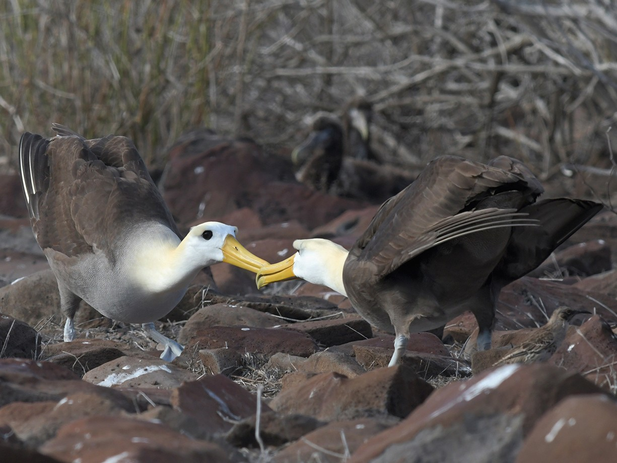 Waved Albatross - Joshua Vandermeulen