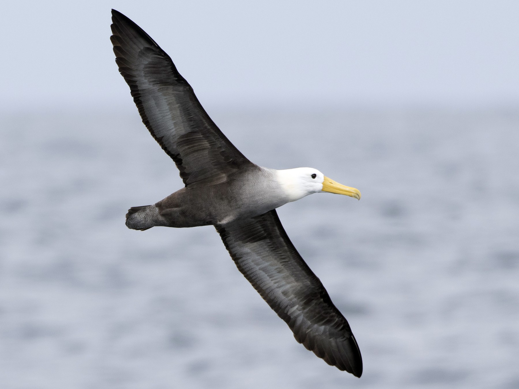 Waved Albatross - Brian Sullivan