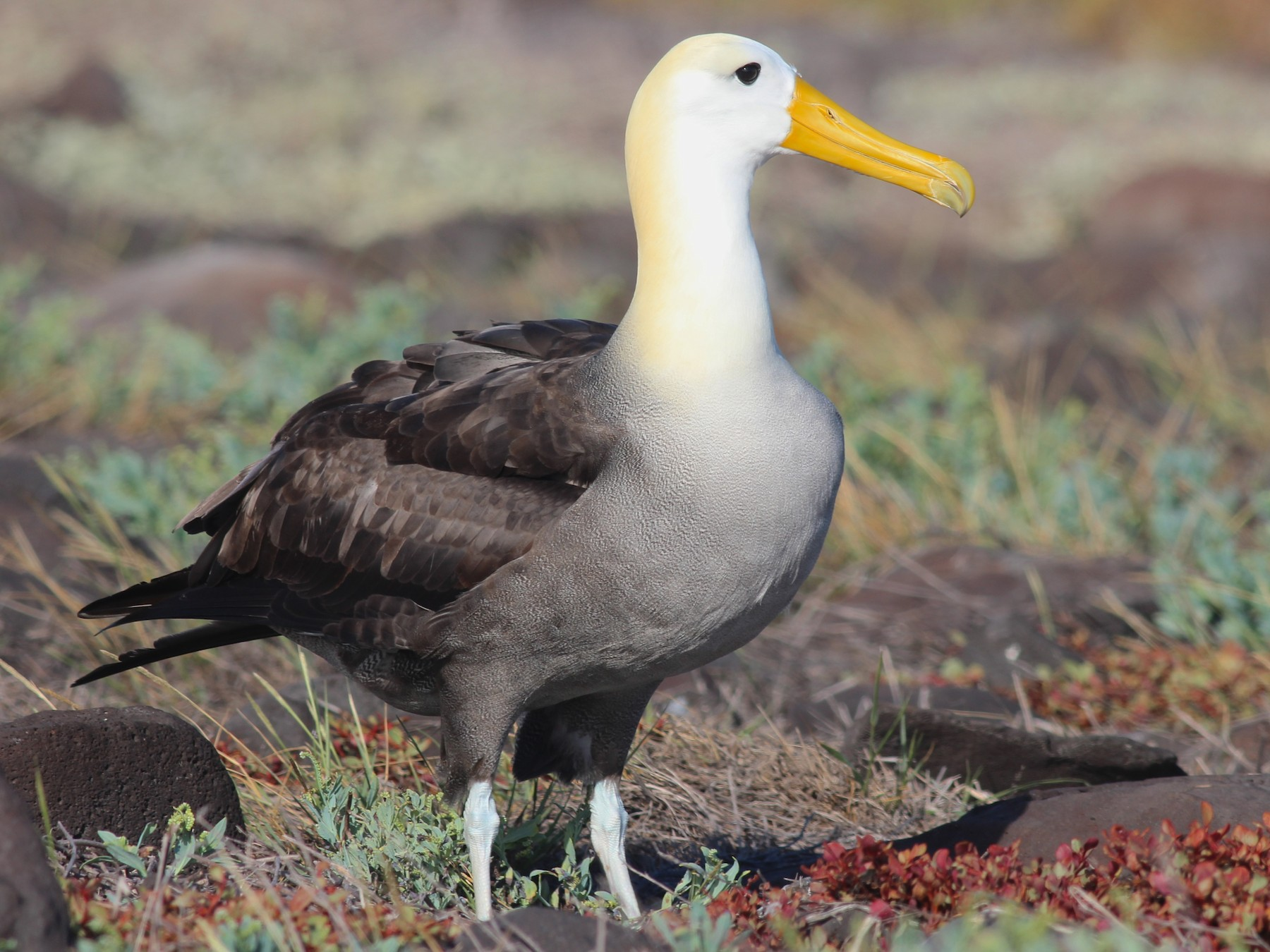 Waved Albatross - Shawn Billerman