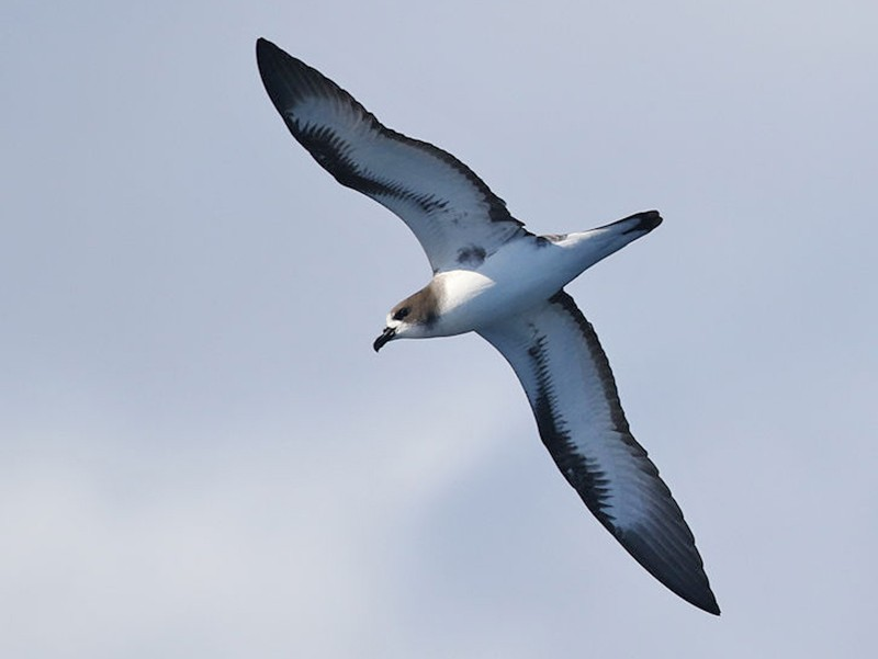 Galapagos Petrel - William Hull