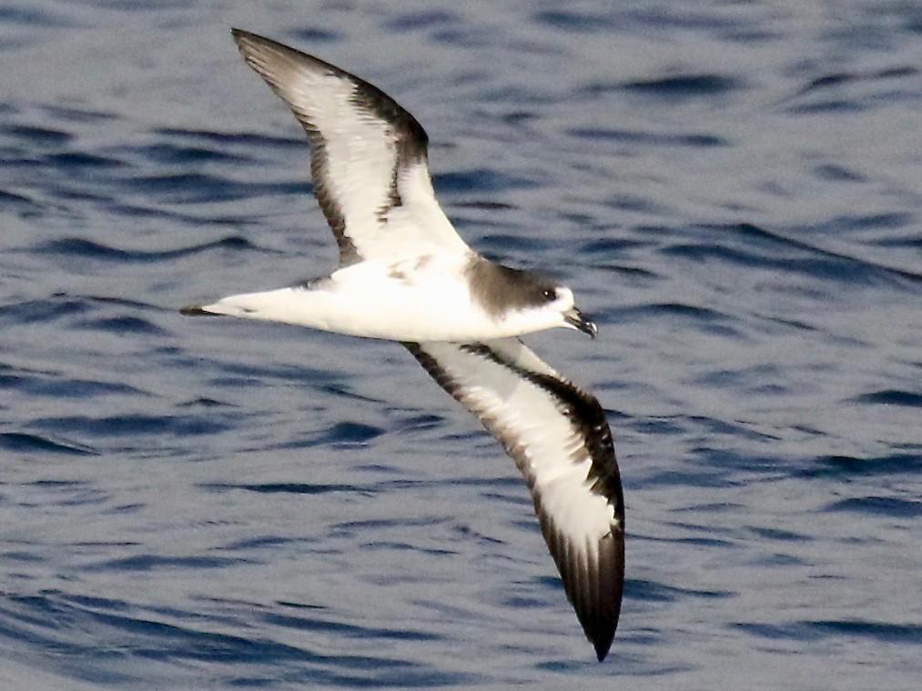 Galapagos Petrel - Jonah  Benningfield