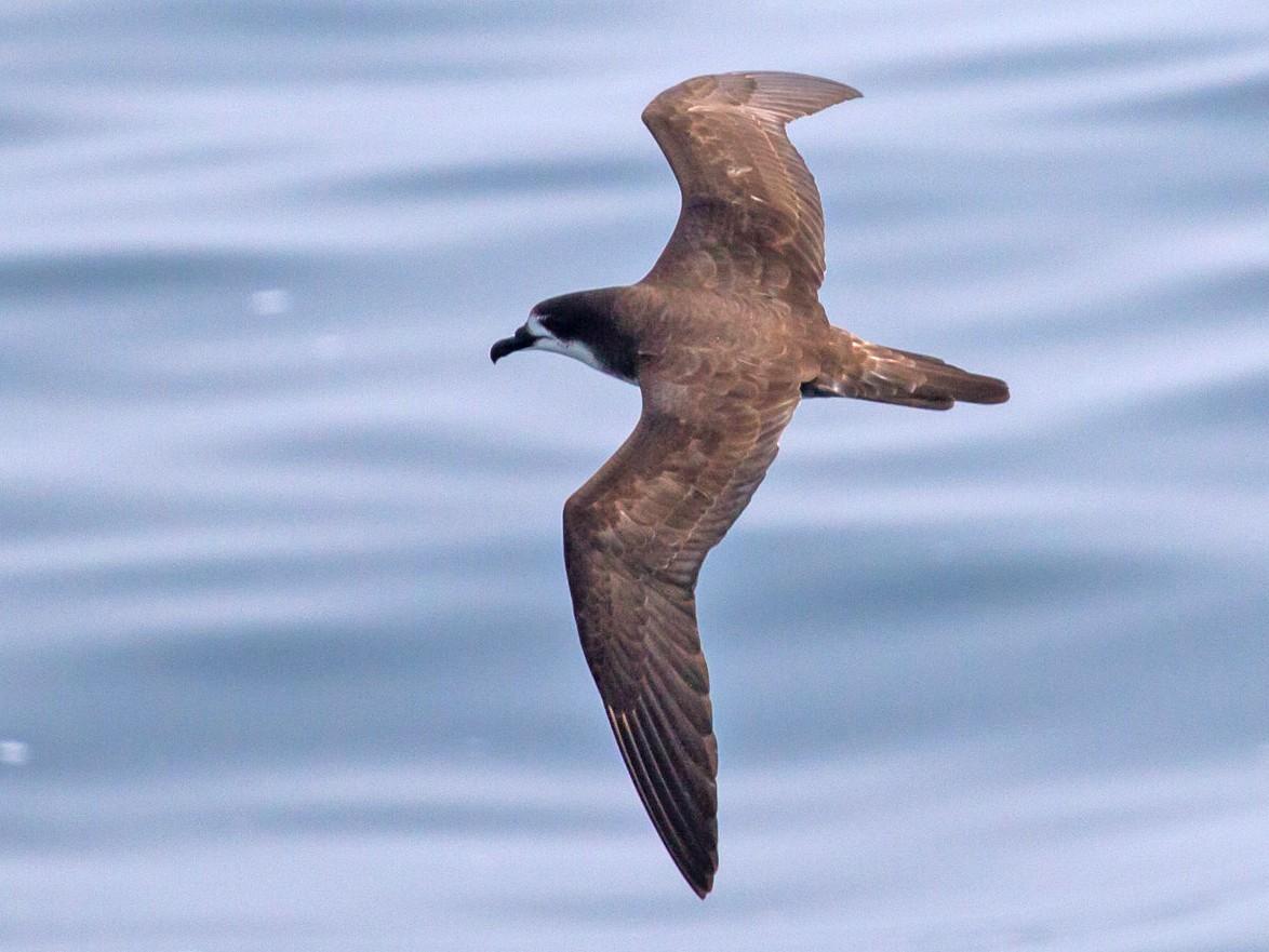 Galapagos Petrel - David Marques