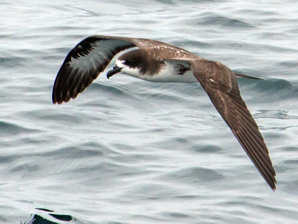 Galapagos Petrel - Nick Athanas