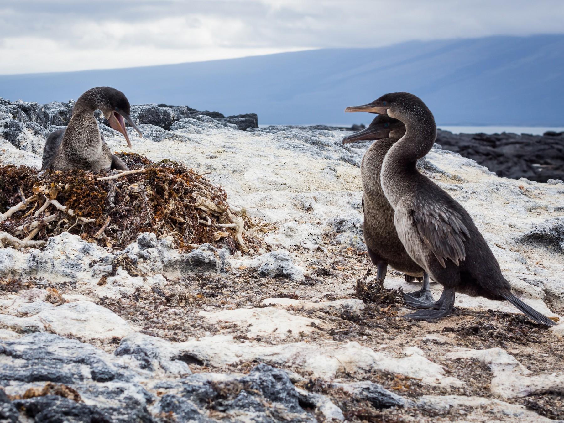 Flightless Cormorant - Becca Engdahl