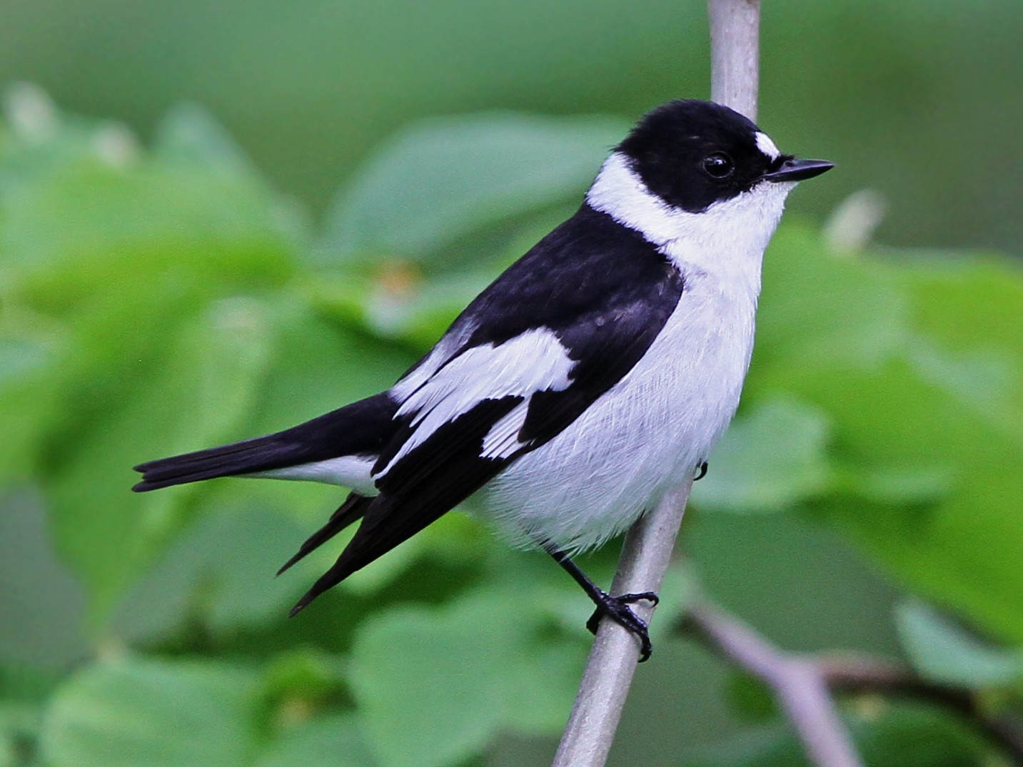 Collared Flycatcher - Christoph Moning